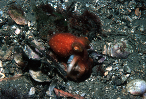 A Nocturnal Sand Octopus