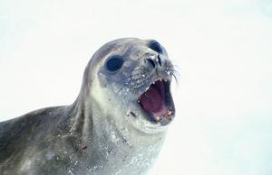 A Male Elephant Seal