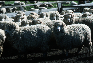 Merino Flock