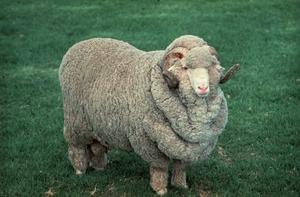 A Stud Ram