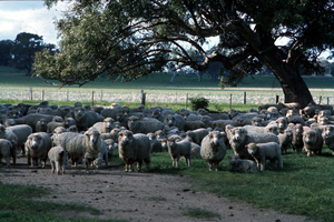 Flock of Sheep in Paddock
