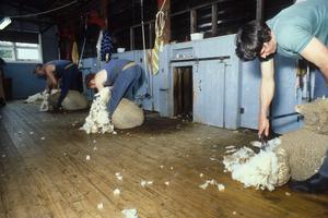 A Shearer at Work