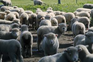A Paddock Full of Sheep