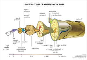 The structure of a Merino Wool Fibre