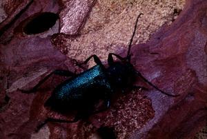 A Longicorn Beetle