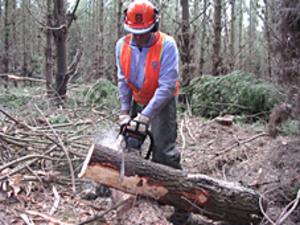 Radiata Pine Field Trial
