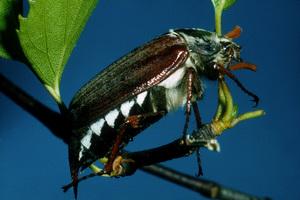 A Scarab Beetle