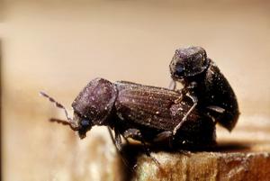 Anobium punctatum beetles