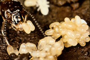Termite Eggs and the Queen