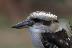 Kookaburra, Jamieson, Victoria