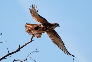 Brown falcon, Wilson's Promontory, Victoria