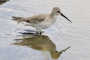 Curlew Sandpiper, Werribee, Victoria