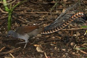 Superb Lyrebird,  Mt Buffalo, Victoria