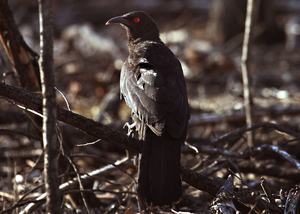 White-winged Chough, You Yangs, Victoria
