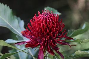 Waratah flower, Jamieson, Victoria