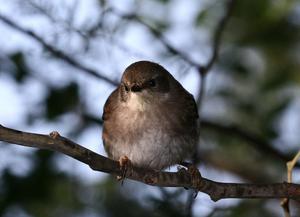Brown thornbill, Flinders, Victoria