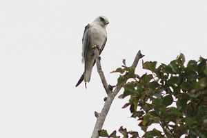 Australian Black-shouldered Kite, Coolart, Victoria