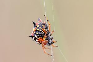 Spiny spider,  Flinders, Victoria