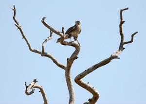 Brown Falcon, Point Cook, Victoria