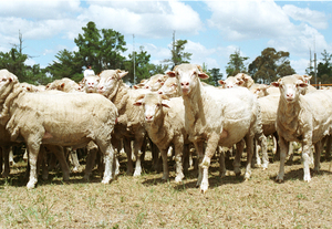 Freshly Shorn Sheep