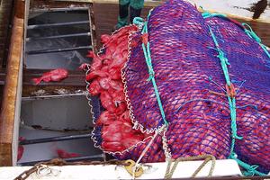 Fishermen haul a catch of orange roughy aboard a fishing vessel