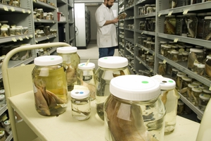 Alastair Graham, Fish Collection Manager, Australian National Fish Collection, examining a specimen in one of the 15,000 or so jars that are stored in the collection.