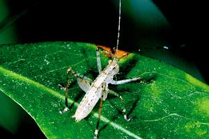 A Karakara Grasshopper