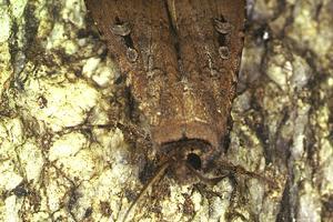 Agrotis infusa, the Bogong Moth