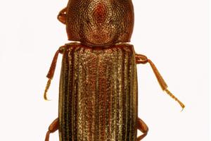 Tribolium destructor - False black flour beetle