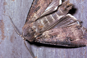 A Bogong Moth