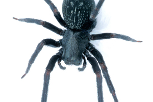 A Black House Spider