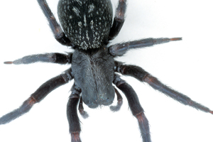 Adult Black House Spider