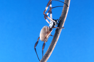 Adult Golden Orb Weaving Spider