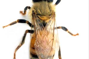 An Adult Female Worker Honey Bee