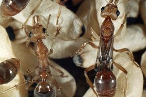 Dinosaur or Fossil Ants – <I>Nothomyrmecia macrops</I>