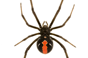 A red backed spider