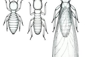 Coptotermes acinaciformis