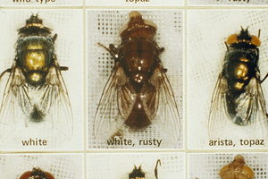 A tray of sheep blowflies
