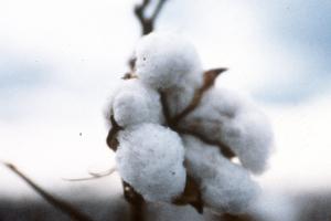 CSIRO Cotton Varieties