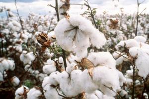Crop of Cotton
