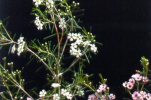 A Geraldton Wax Flower