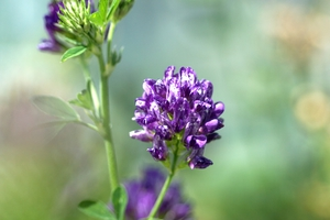 Lucerne in flower