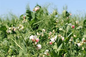 Pea plants in flower