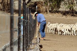 Hand-feeding sheep in feedlot
