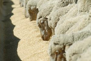 Hand feeding sheep in feedlot