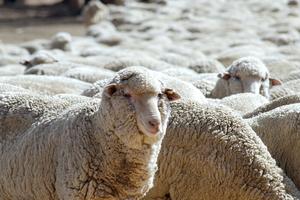 Hand feeding sheep in paddock