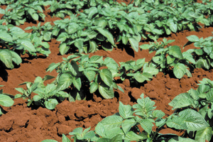 Potato crop on farm near Atherton, QLD.