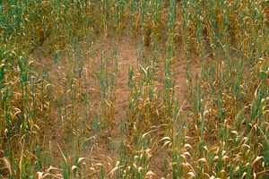Disease patch in wheat crop at Avon, north of Adelaide in South Australia. 1992.