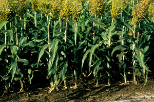 Sorghum crop near the coastal town of Ayr in central Queensland. 1992.