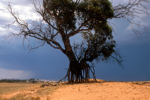 Dune erosion showing exposed tree roots at Balaclava in the mid-north of South Australia. 1992.